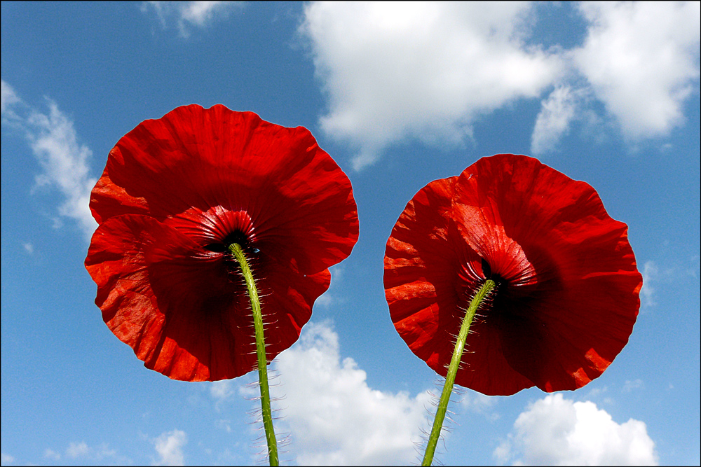 """photo """"***"""" tags: nature, macro and close-up, blue, clouds, flowers, poppy, red, sky"""