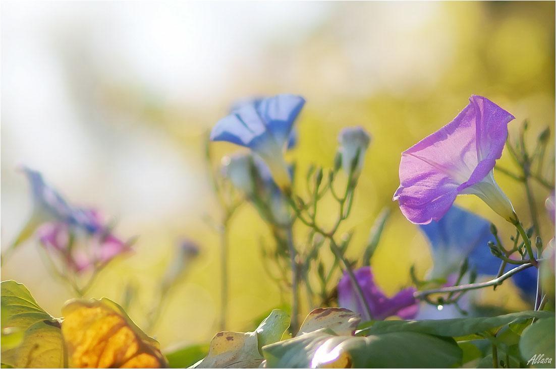 """фото """"Осенние чувства вьюнка"""" метки: природа,"""