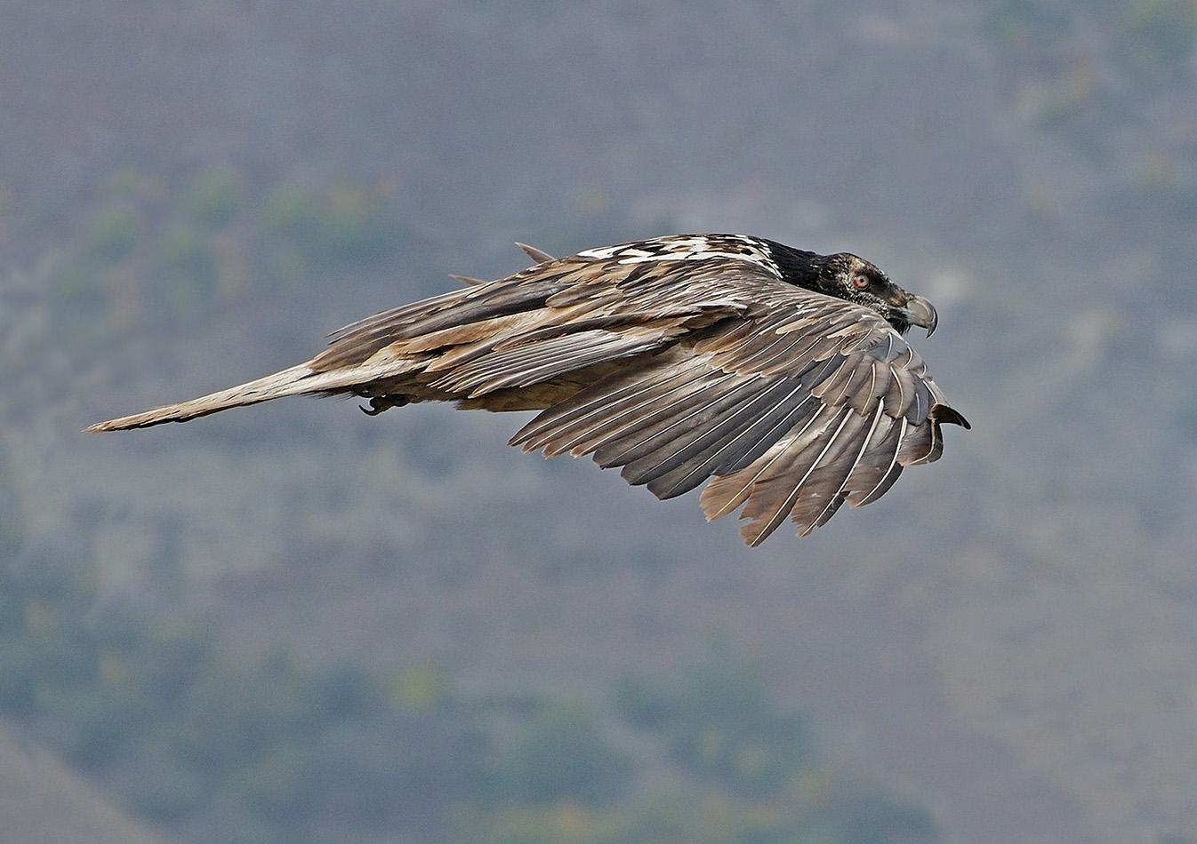 """фото """"Планер"""" метки: природа, бородач, взгляд, дикие животные, крылья, полет"""