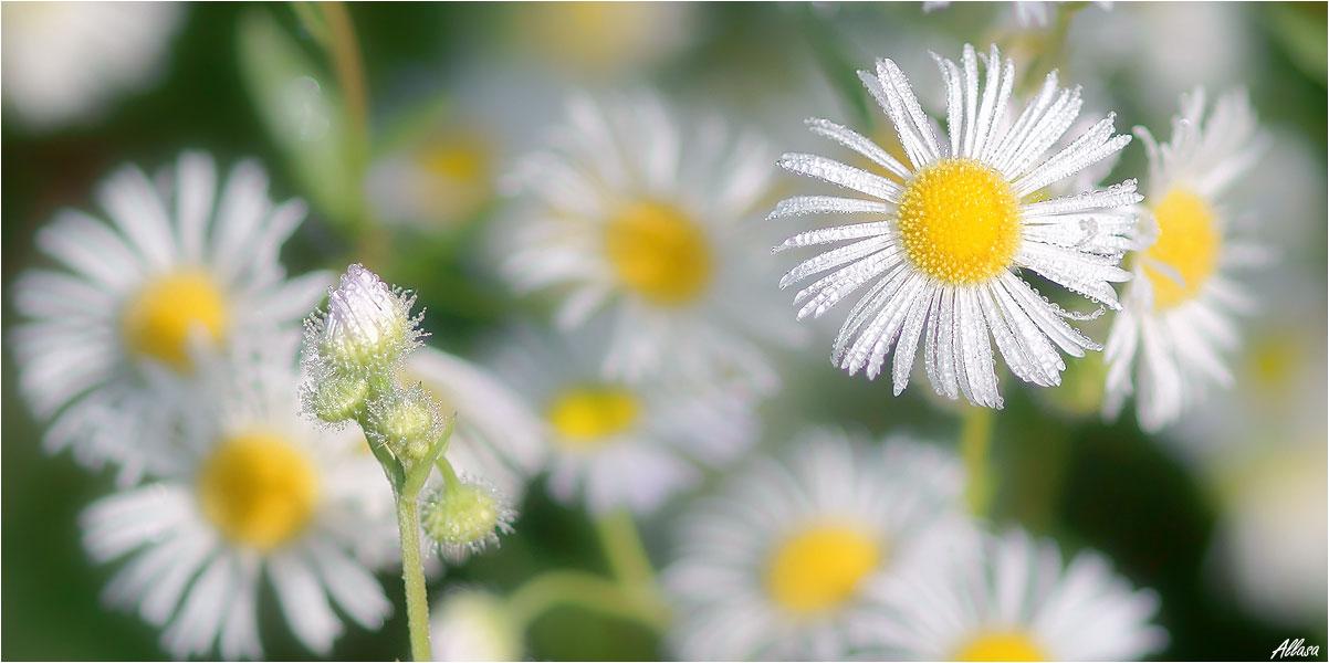 """фото """"В лёгком платьице – воздушном, белоснежном... Стебельком изящным к свету потянусь..."""" метки: природа,"""