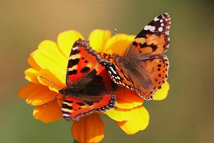 """фото """"оранжевое настроение..."""" метки: , бабочки, насекомое, осень, цветы"""