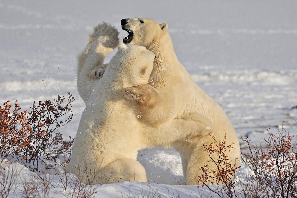 """фото """"Arctic wrestling"""" метки: природа,"""