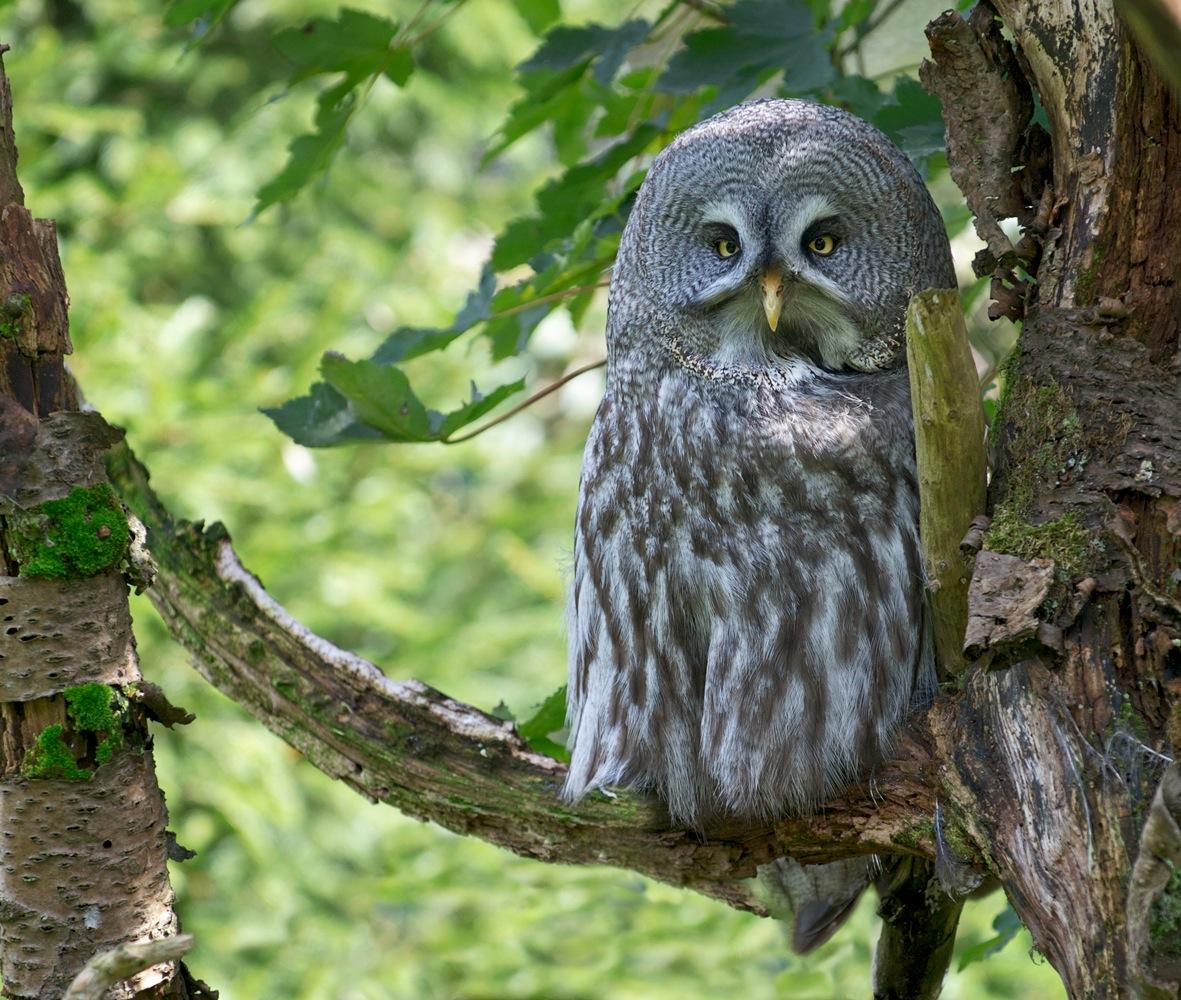 "photo ""Бородатая неясыть"" tags: nature, Strix nebulosa, bird, wild animals, большая серая сова, птички"