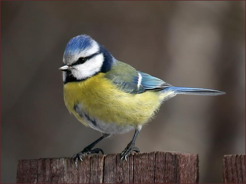 """фото """"Просто лазоревка"""" метки: природа, птицы"""