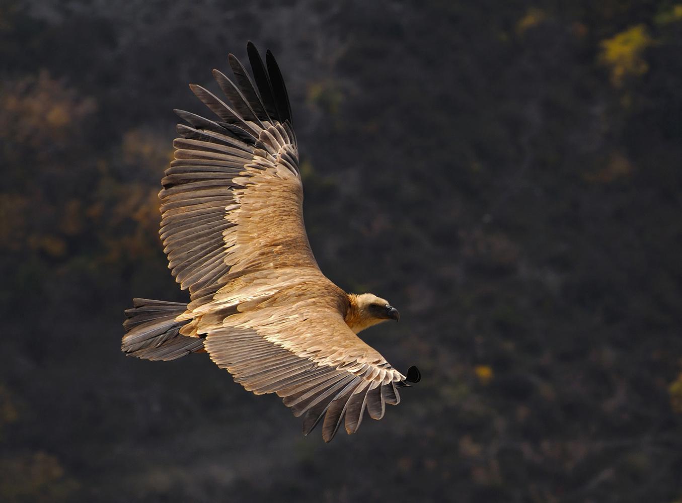 """фото """"Белоголовый сип"""" метки: природа, Сип, дикие животные, крылья, полет, размах"""