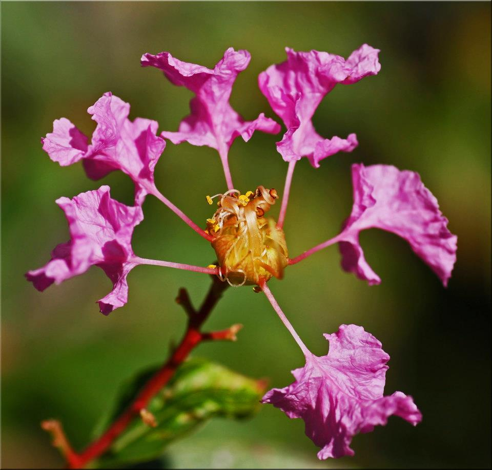 "photo ""Crape Myrtle"" tags: nature, macro and close-up,"