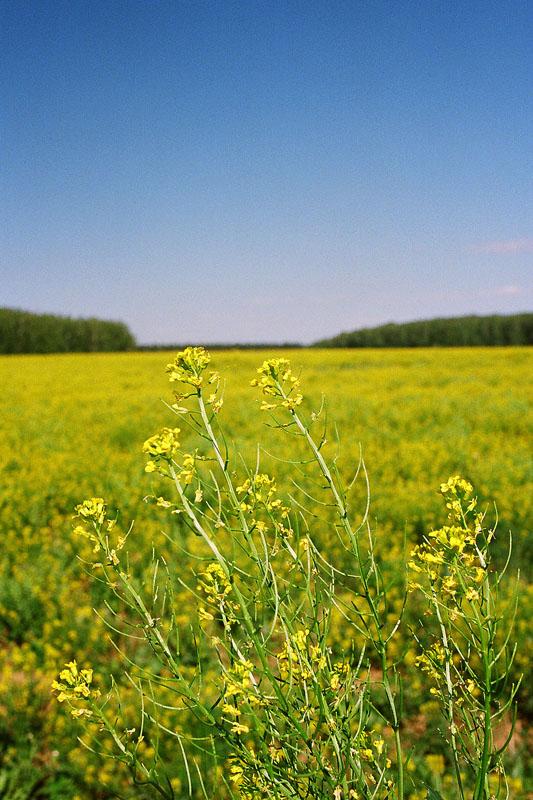 """фото """"Желто-голубое фото"""" метки: пейзаж, лето, цветы"""
