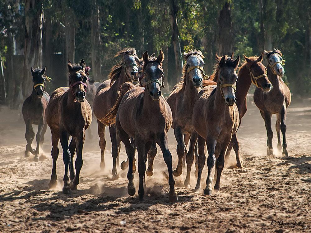 "photo ""Gallop 2"" tags: nature, Horses"