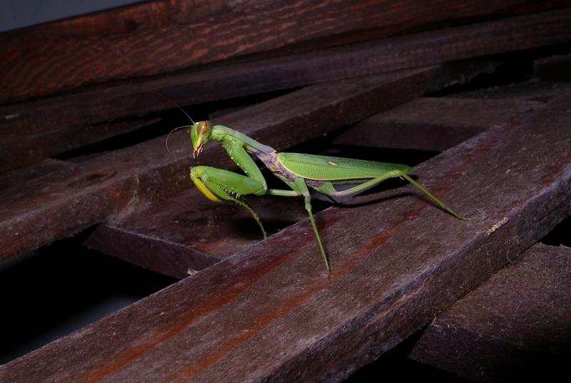 """фото """"Ночной охотник"""" метки: макро и крупный план, насекомое"""