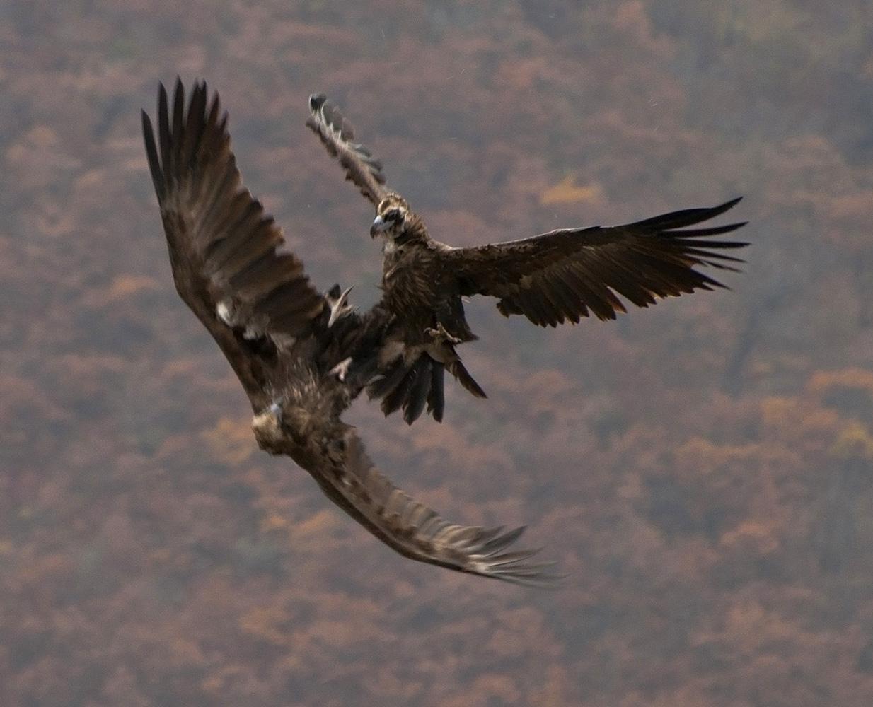 """фото """"Воздушная дуэль 2"""" метки: природа, горы, гриф, дикие животные, крылья, полет, размах"""