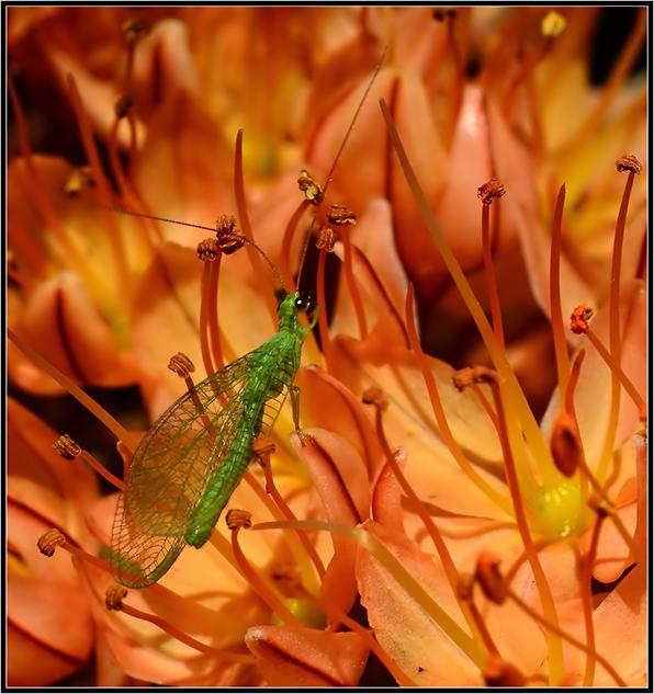 """фото """"***"""" метки: макро и крупный план, лето, насекомое, цветы"""