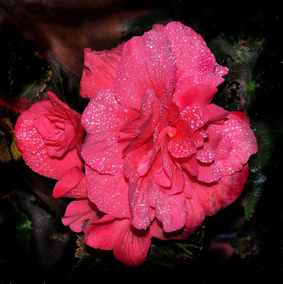"""фото """"Бегония"""" метки: природа, Бегония, цветы"""