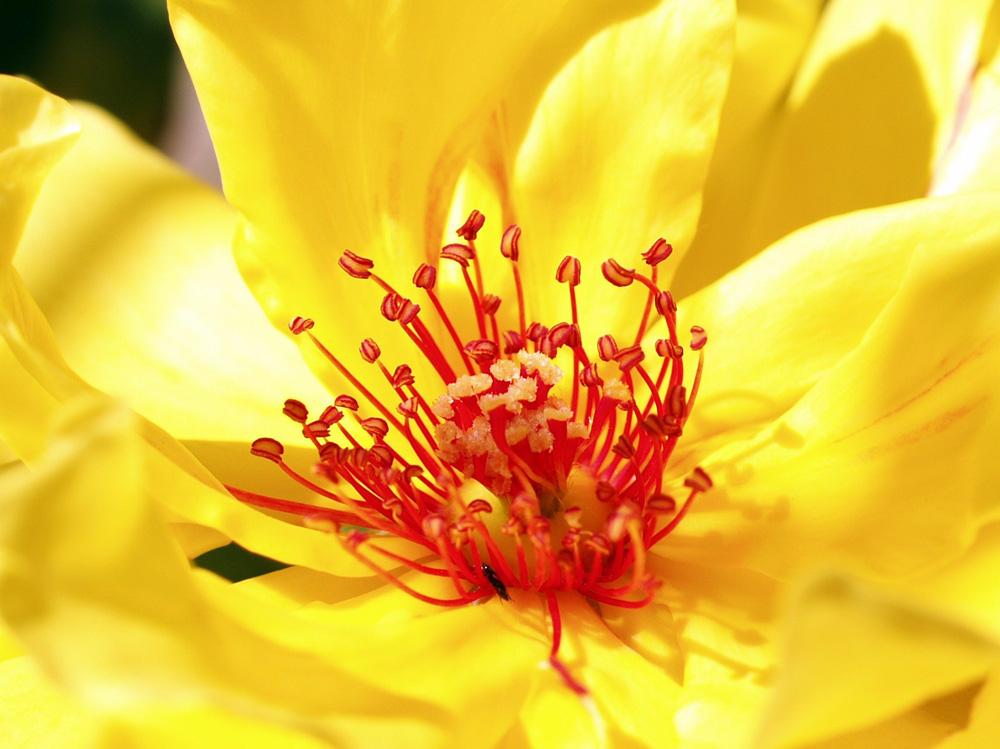 """фото """"Stamens and pistils"""" метки: природа, макро и крупный план, цветы"""