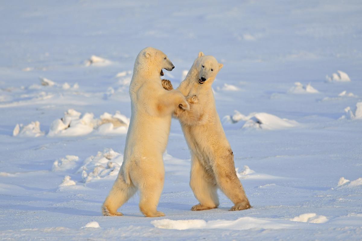 """фото """"Polar bear dance"""" метки: природа,"""