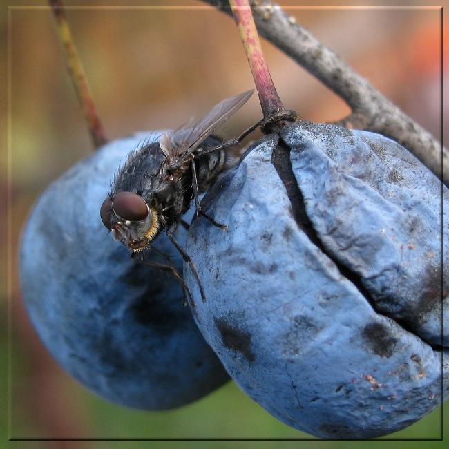 """фото """"Просто мух"""" метки: макро и крупный план, разное, Насекомые, муха, фрукты"""