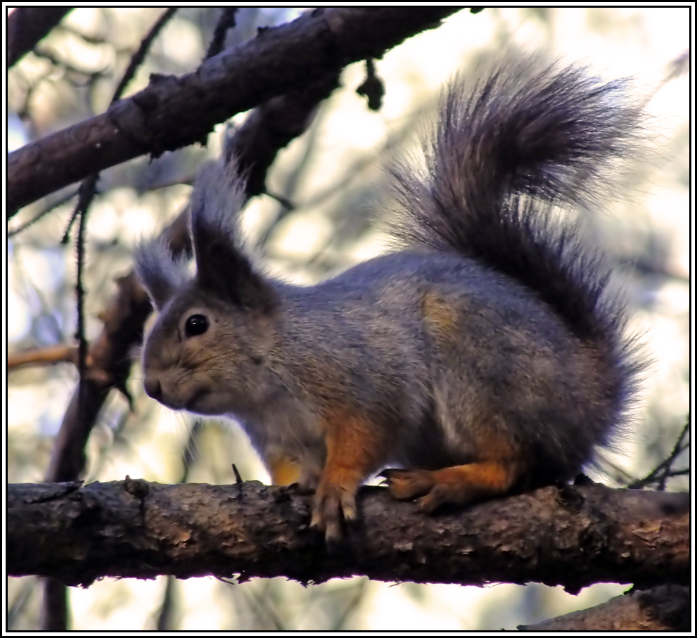 "photo ""Squirrel"" tags: nature, autumn, squirrel"
