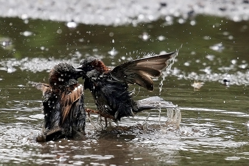 """photo """"***"""" tags: nature, воробьи дерутся в луже"""