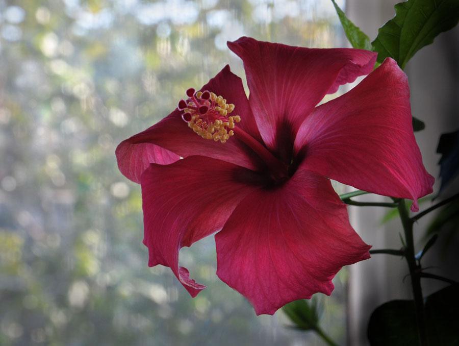 "фото ""Гибискус"" метки: природа, гибискус, цветы"