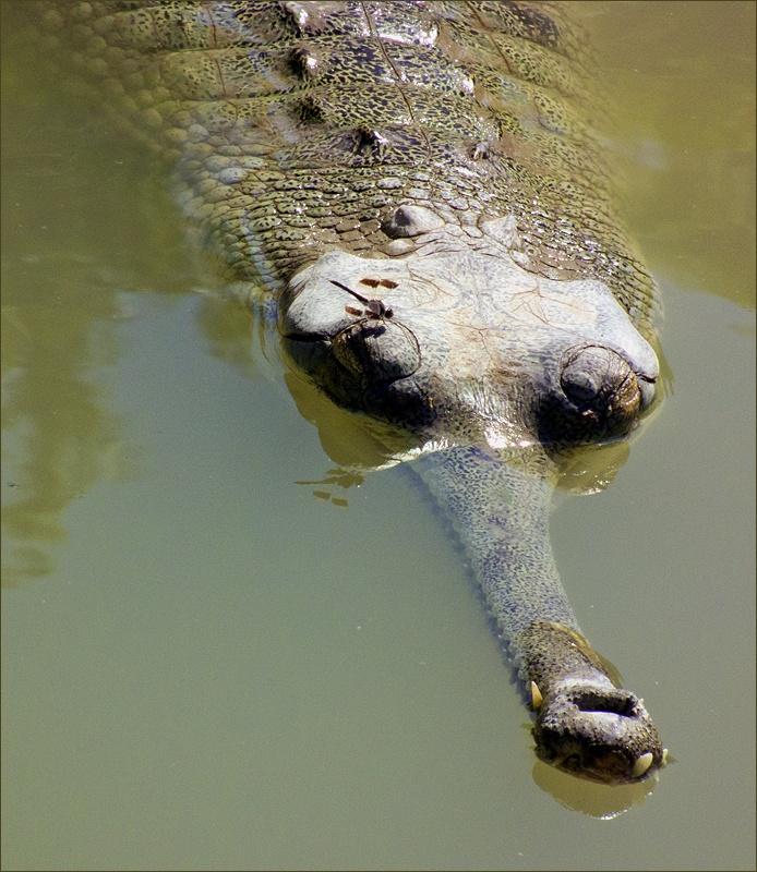 """фото """"Плавбаза"""" метки: природа, dragonfly, gavial, гавиал, стрекоза"""