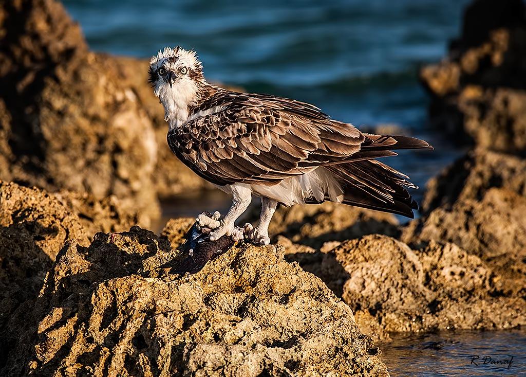 """фото """"The catch"""" метки: природа, Osprey, Африка, море, птица"""