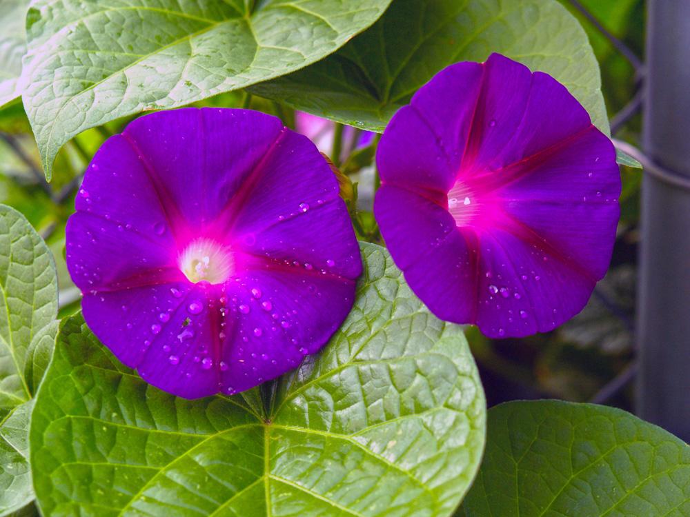 "фото ""Morning Glory"" метки: природа, цветы"