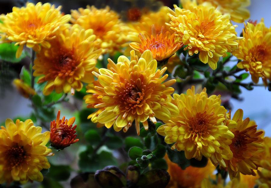 """фото """"Комнатные хризантемы"""" метки: макро и крупный план, хризантемы, цветы"""