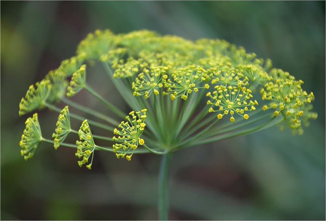 "photo ""The ordinary dill"" tags: nature, macro and close-up,"