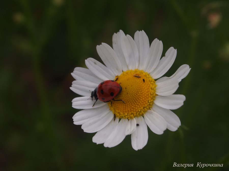 """фото """"***"""" метки: природа, макро и крупный план, Насекомые, божья коровка, лето, макро, ромашка, цветы"""