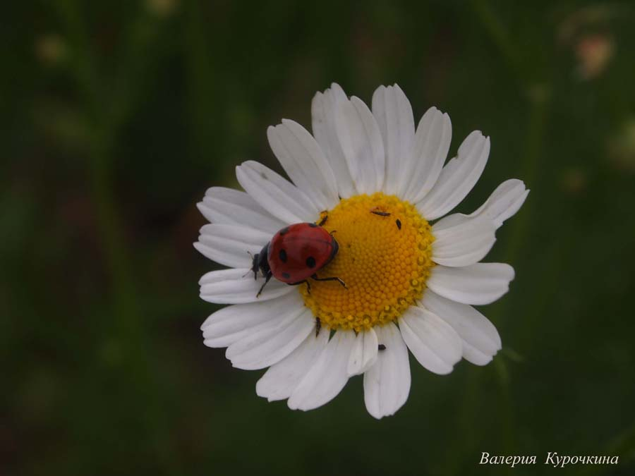 "photo ""***"" tags: nature, macro and close-up, flowers, summer, Насекомые, божья коровка, макро, ромашка"
