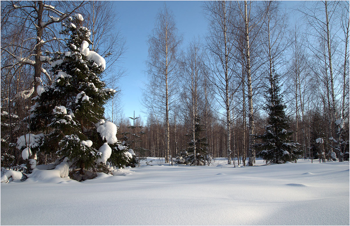 "фото ""Притихший лес"" метки: пейзаж, природа, березы, ели, зима, иней, лес, снег, тени"