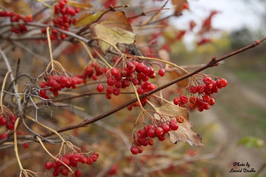 """фото """"Калина в ноябре"""" метки: природа, калина"""