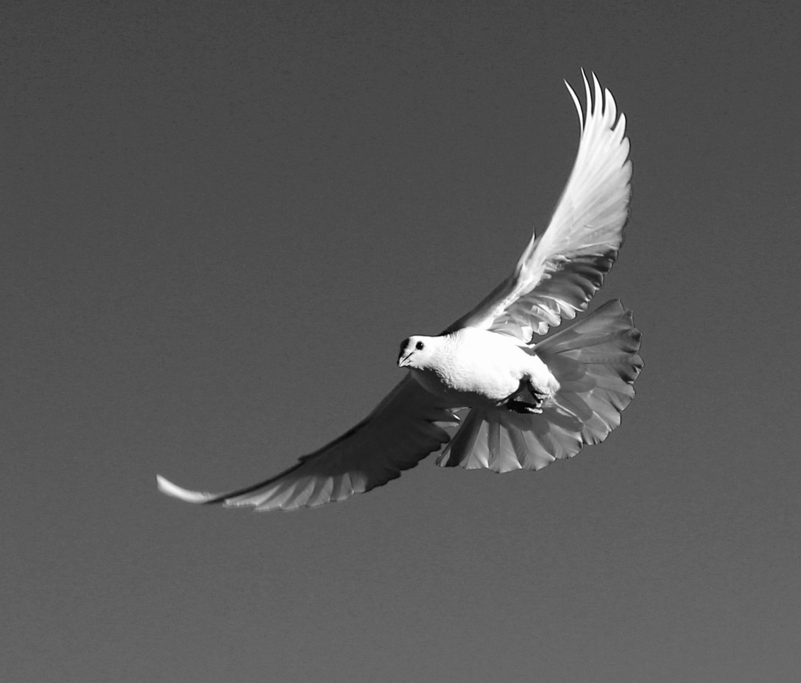 "photo ""La Paloma Blanca"" tags: black&white, nature, pigeon"