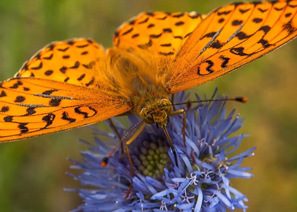"""фото """"Глаза в глаза"""" метки: природа, макро и крупный план, бабочки, лето"""