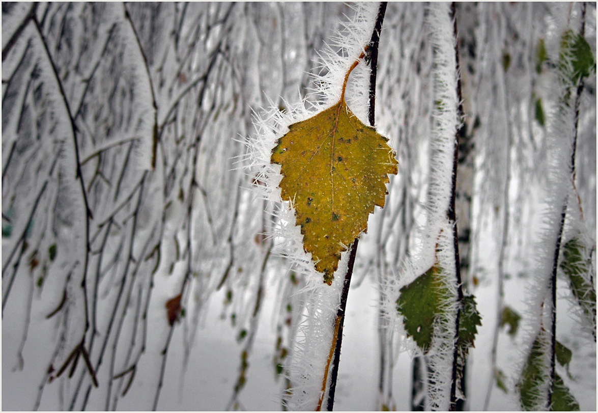 """фото """"Между осенью и зимой"""" метки: природа, ветви, зима, листья, снег"""