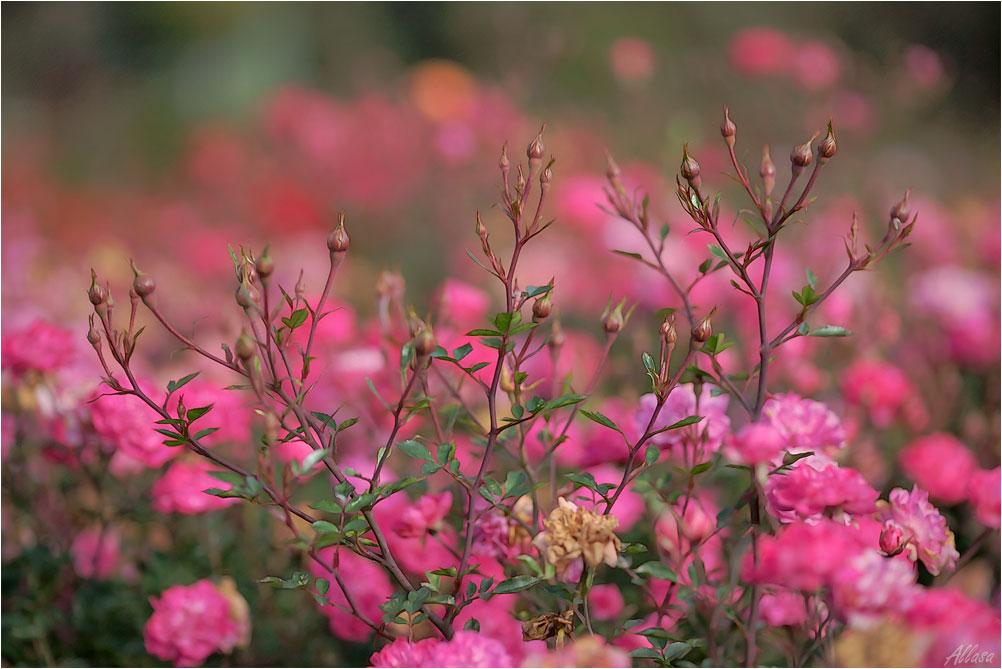 """фото """"Розы ноября.."""" метки: природа,"""