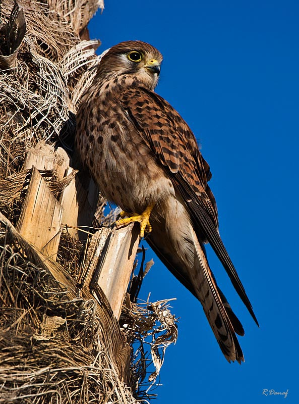"photo ""Falcon"" tags: nature, bird"