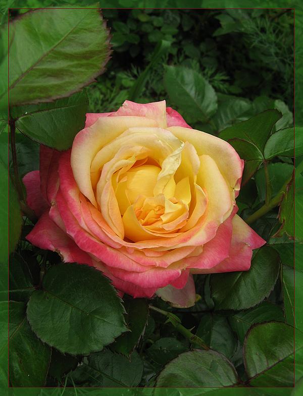 """фото """"***"""" метки: природа, лето, розы, цветы"""