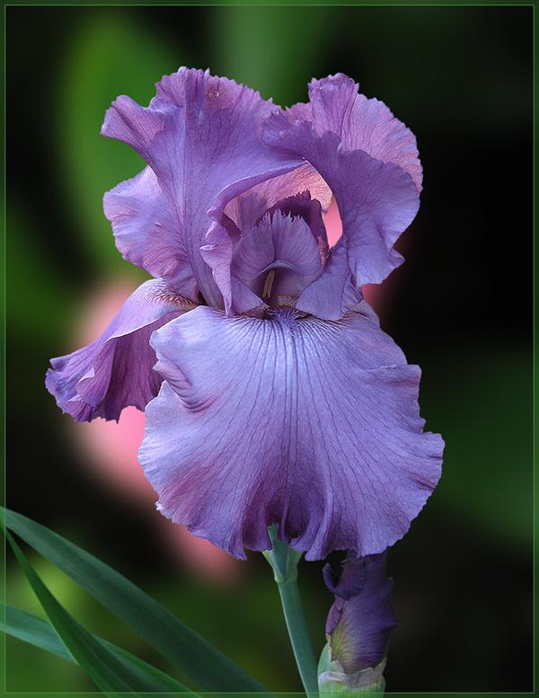 "фото ""Ирис ""Good Looking"""" метки: природа, фотомонтаж, ирисы, лето, цветы"