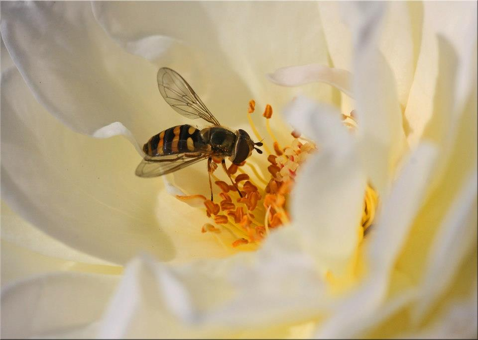 """фото """"Hovaround"""" метки: природа, макро и крупный план, closeup, flower, macro, rose, насекомое"""