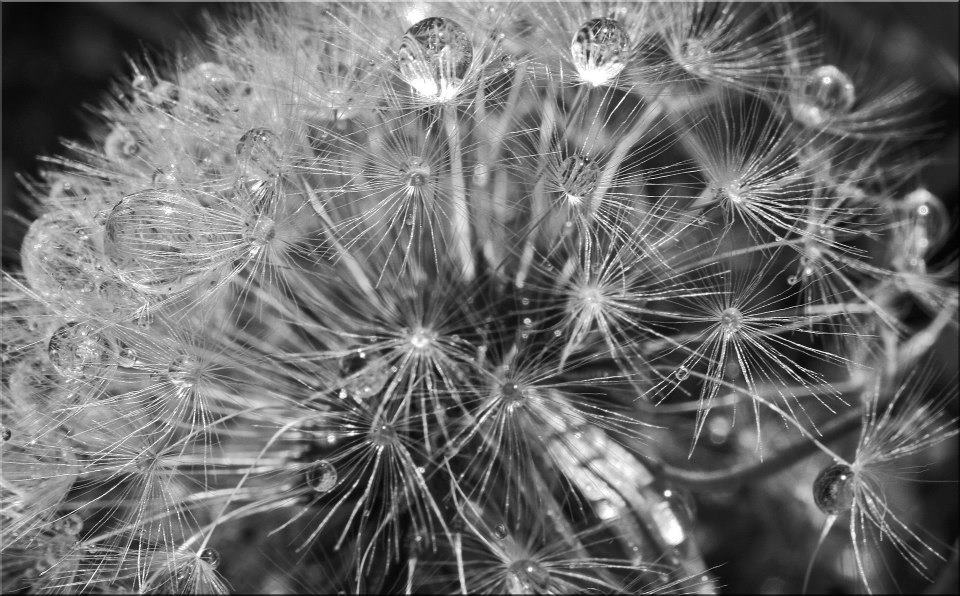 "photo ""Dandelion Pearls"" tags: nature, macro and close-up, black&white, closeup, dandelion, macro, water drops"