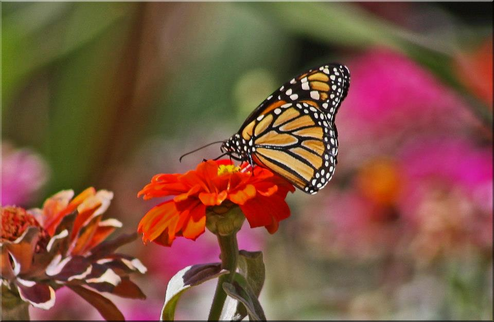 "photo ""Monarch On Throne"" tags: nature, butterfly, flowers, garden"