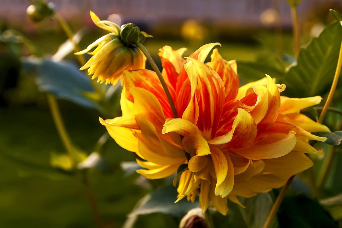 "фото ""Осенний цветок..."" метки: природа, осень, цветы"