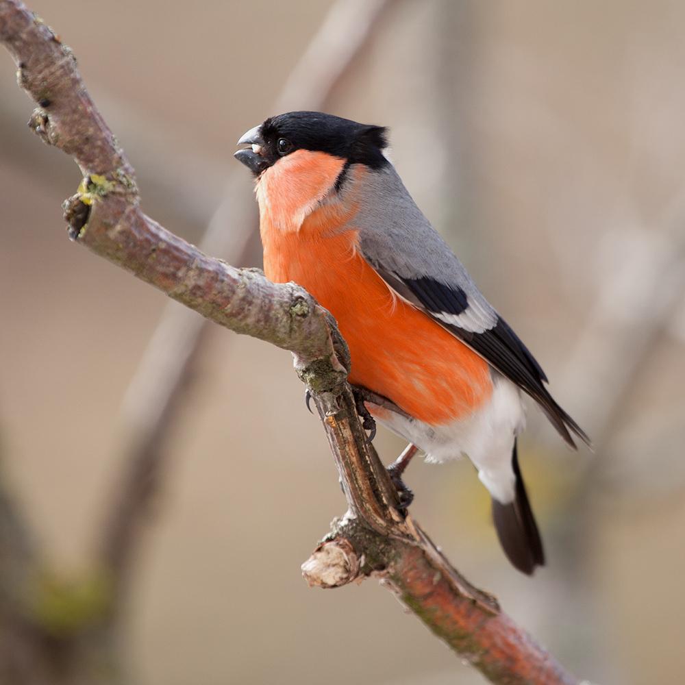 """фото """"Зимний гость"""" метки: макро и крупный план, птицы"""