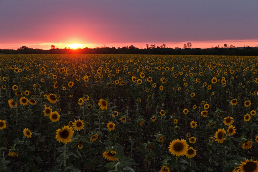 "photo ""***"" tags: landscape, Ukraine, evening, field, sunflowers, sunset, Запорожье"