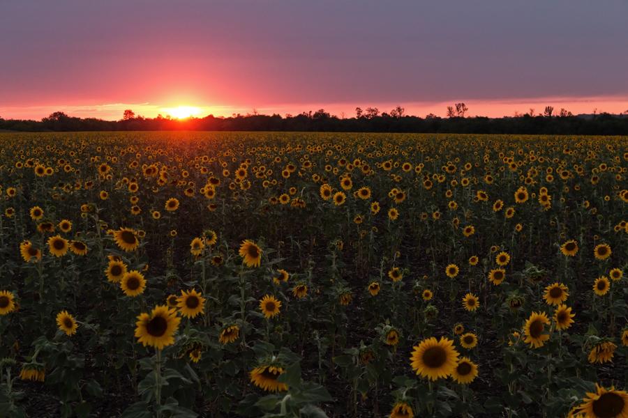 "фото ""***"" метки: пейзаж, Запорожье, Украина, вечер, закат, подсолнухи, поле"