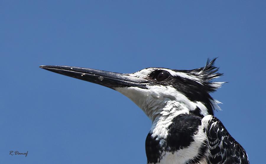 """фото """"King fisher 2"""" метки: природа, птица"""