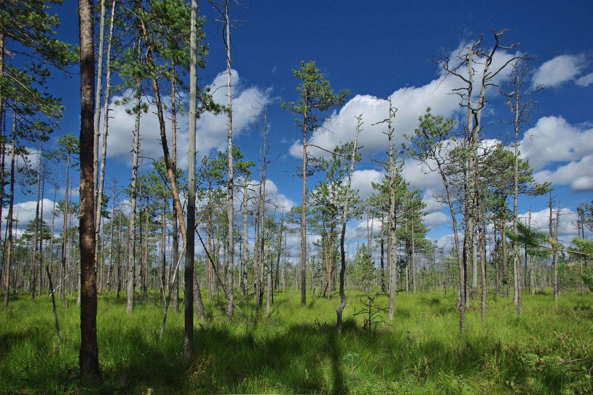 """фото """"Болото"""" метки: пейзаж, лес, лето, облака"""