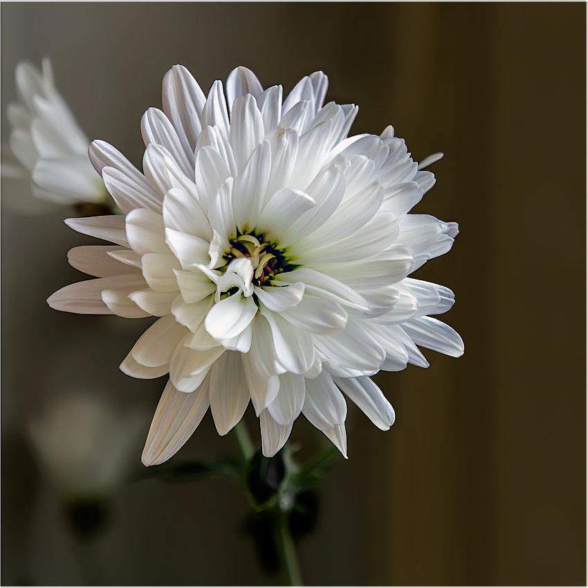 """фото """"Любимый цветок микадо"""" метки: природа, хризантема, цветы"""