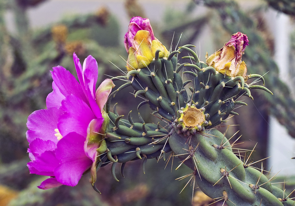 "photo ""Cactus in bloom"" tags: nature,"