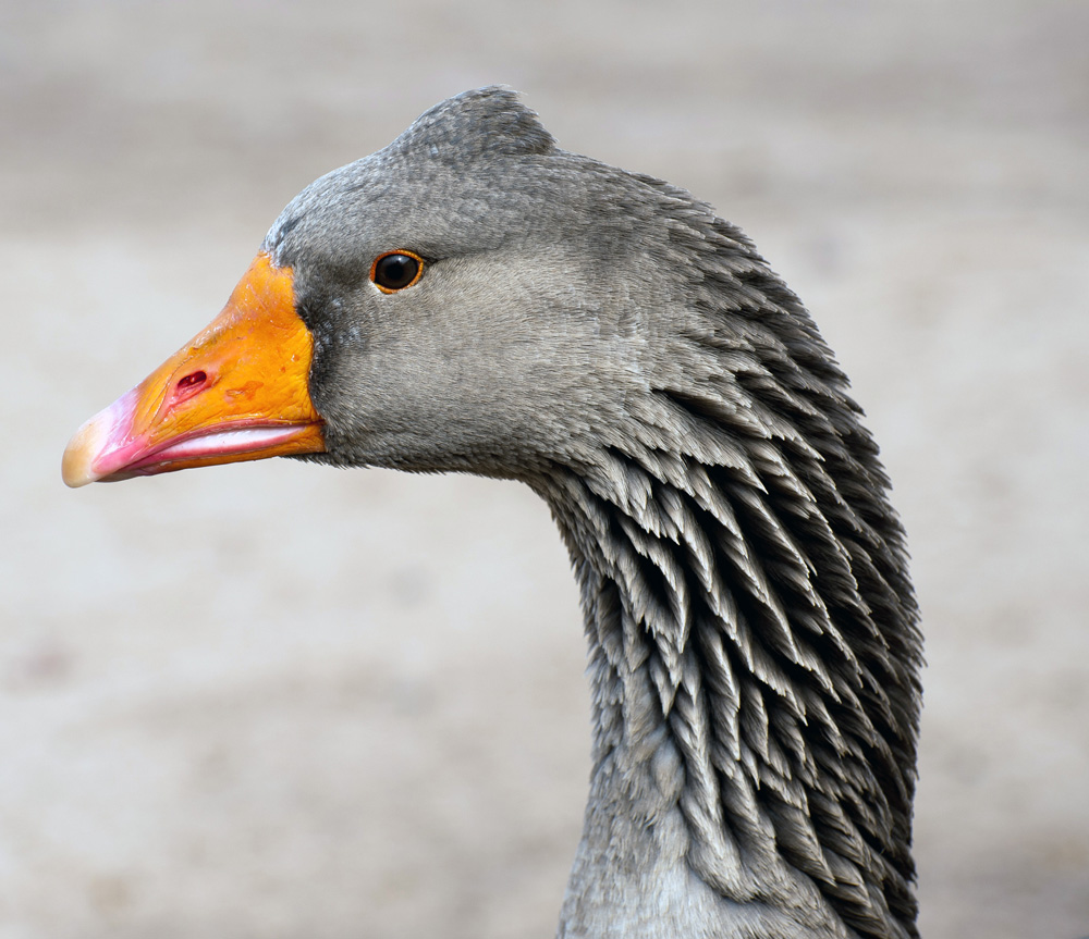 "photo ""Tufted Gander on Guard Duty"" tags: nature,"